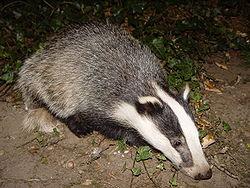250px-Badger-badger
